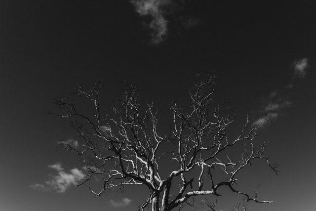 Leafless Tree Brigadoon